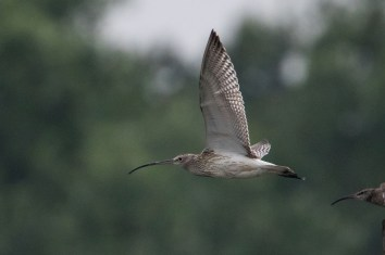 Eurasian Curlew at Sungei Buloh Wetland Reserve. Photo Credits: Adrian Silas Tay.