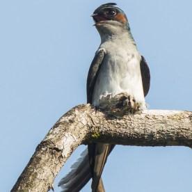 Male Grey-rumped Treeswift incubating egg at Mandai. Photo credit: Francis Yap