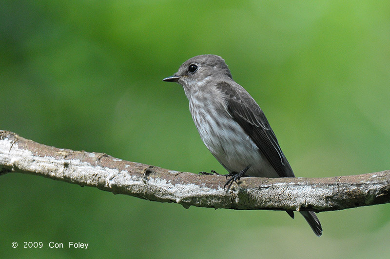Grey-streaked Flycatcher from Philippines. Photo credit: Con Foley