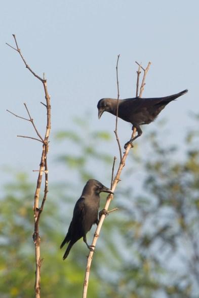 House Crow at Sengkang. Photo Credit: Francis Yap