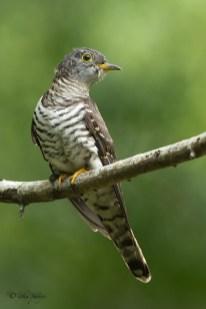Male Indian Cuckoo @ Bidadari. Photo Credit: Zahidi