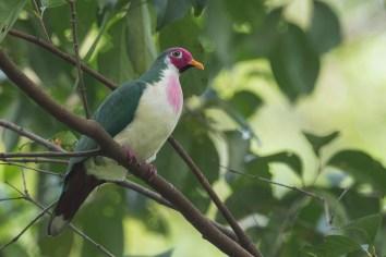 Male Jambu Fruit Dove at Bidadari. Photo Credit: Francis Yap