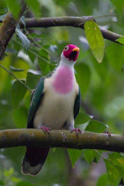 Male Jambu Fruit Dove at SBG. Photo Credit: Francis Yap