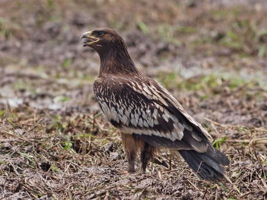 Juvenile Greater Spotted Eagle at Balang, Malaysia. Photo credits: Chong Boon Leong