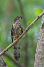 Juvenile Large Hawk-Cuckoo at Bidadari. Photo Credit: Francis Yap