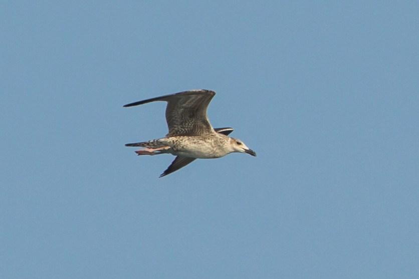 Lesser Black-backed Gull at Singapore Strait. Photo credit: Francis Yap