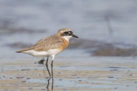 Male Lesser Sand Plover moulting to non-breeding plumage at Seletar Dam. Photo Credit: Francis Yap