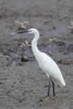 Little Egret at SBWR. Photo Credit: Francis Yap