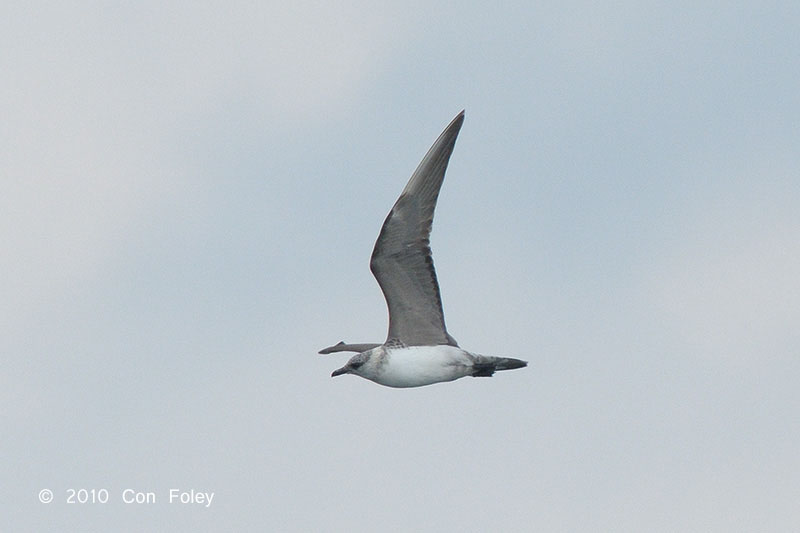 Long-tailed Jaeger at Singapore Strait. Photo Credit: Con Foley