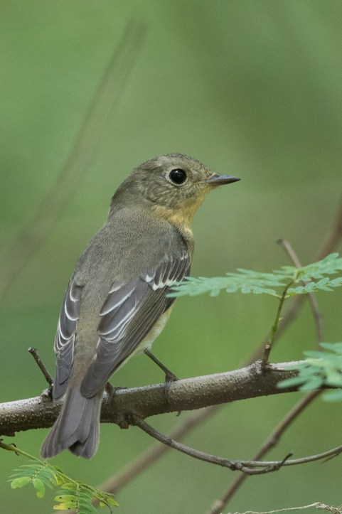 Female Mugimaki Flycatcher from Tuas South. Photo Credit: Francis Yap