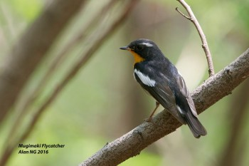 Male Mugimaki Flycatcher from Tuas South. Photo Credit: Alan Ng