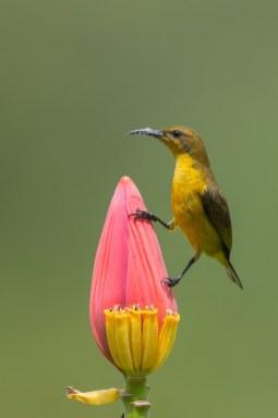 Olive-backed Sunbird at SBTB. Photo Credit: Francis Yap