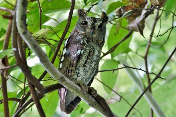Greyish morph Oriental Scops Owl at Bidadari. Photo Credit: Lawrence Cher