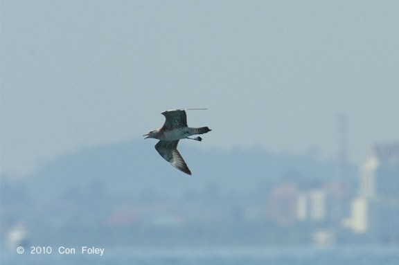 Pomarine Skua at Singapore Strait. Photo Credit: Con Foley