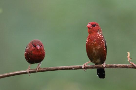 Male Red Avadavat at Punggol Barat. Photo Credit: Francis Yap