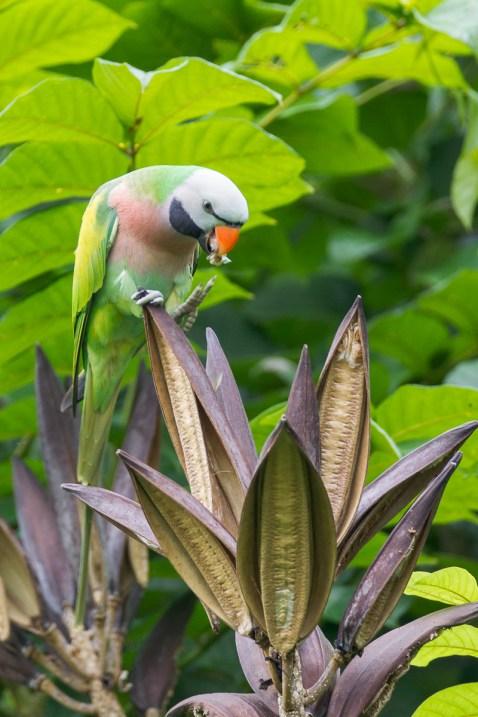 Red-breasted Parakeet at NTL2. Photo Credit: Francis Yap