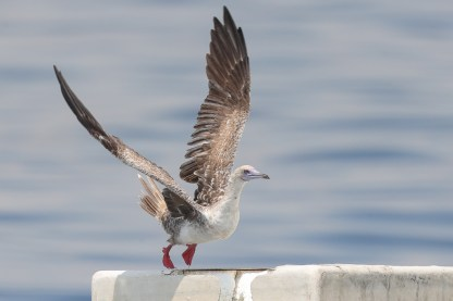 Red-footed Booby at Singapore Strait. Photo credit: Francis Yap