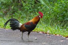Male Red Junglefowl at Pulau Ubin. Photo credit: Francis Yap