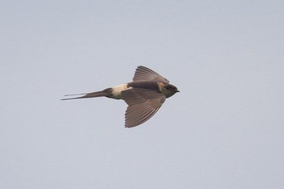 Red-rumped Swallow at Punggol Barat. Photo Credit: Francis Yap