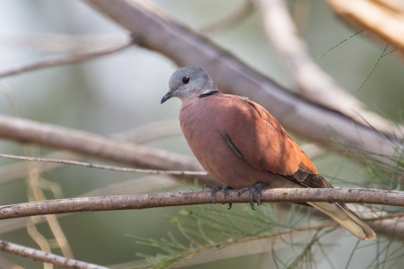 Male Red Collared Dove at Changi Cove. Photo Credit: Francis Yap