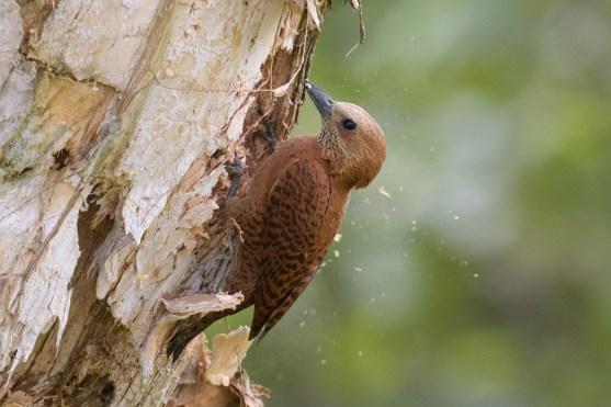 Rufous Woodpecker. Photo credit: Goh Cheng Teng