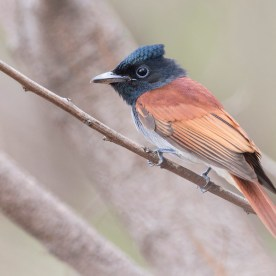 Amur Paradise Flycatcher. Photo Credit: See Toh Yew Wai