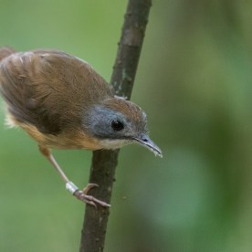 Short-tailed Babbler at Sime Forest. Photo Credit: Francis Yap