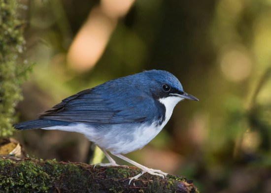 Male Siberian Blue Robin at Genting Highlands. Photo credit: See Toh Yew Wai