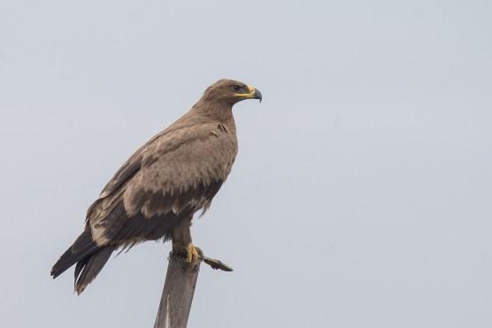 Juvenile Steppe Eagle at Batang Tiga, Malaysia. Photo Credit: Francis Yap