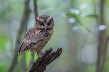 Sunda Scops Owl at Lower Pierce Reservoir. Photo credit: Adrian Silas Tay