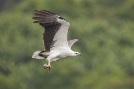 Adult White-bellied Sea Eagle at Lower Seletar Reservoir. Photo credit: Francis Yap