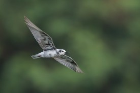 White-winged Tern moulting to non-breeding plumage at Sungei Serangoon. Photo Credit: Francis Yap