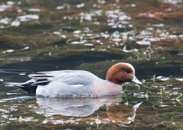 Eurasian Wigeon (male) at Tokyo Imperial Garden. Photo credit: See Toh Yew Wai
