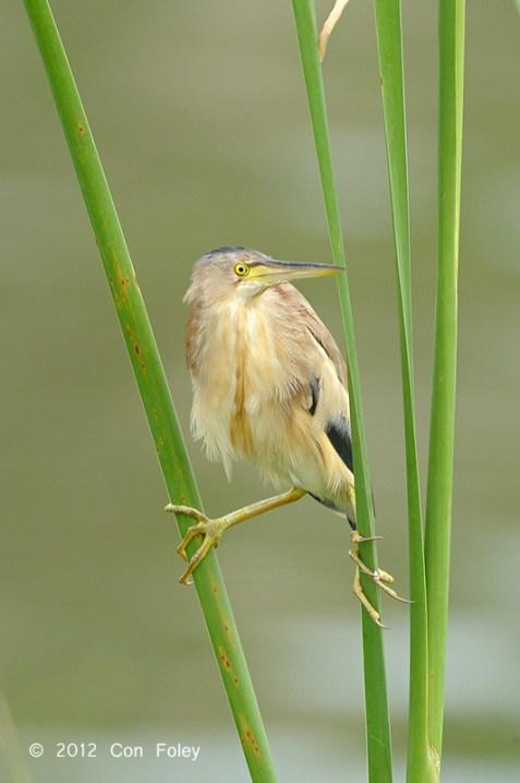 Yellow Bittern at Sengkang. Photo credit: Con Foley