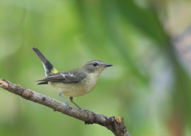 Female Yellow-rumped Flycatcher at Bidadari. Photo credit: See Toh Yew Wai