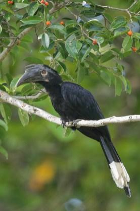 Female Black Hornbill at Pulau Ubin. Photo Credit: Francis Yap