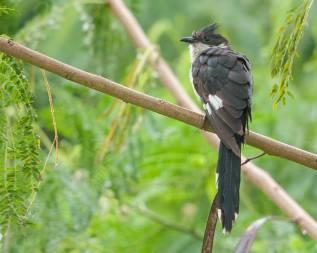 Jacobin Cuckoo. Photo credit: Mohamad Zahidi