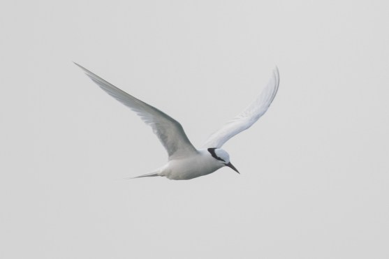 Black-naped Tern at Singapore Strait