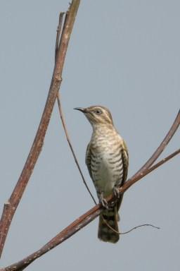 Horsfield's Bronze Cuckoo at Piccadilly, Seletar. Photo credit: Francis Yap