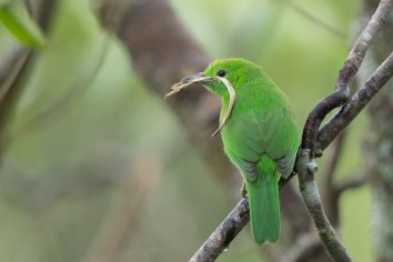 Female Lesser Green Leafbird at Jelutong Tower. Photo credit: Francis Yap