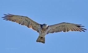 Juvenile Short-toed Eagle at Southern Spain. Photo Credit: Pete Blanchard.