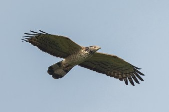 Male Crested Honey Buzzard at Jelutong Tower