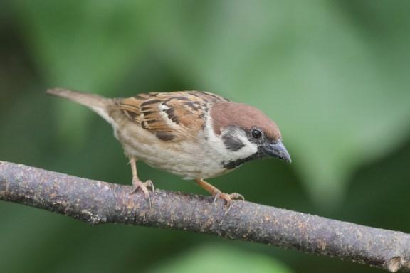 Eurasian Tree Sparrow at Yishun Dam. Photo credit: Francis Yap