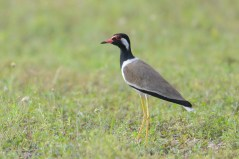 Red-wattled Lapwing at Tuas South. Photo credit: Francis Yap