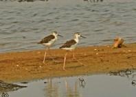 Pied Stilts immatures/juveniles at Pulau Tekong. Photo credit: Frankie Cheong