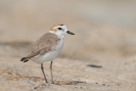 White-faced Plover at Marina East Drive. Photo credit: Francis Yap