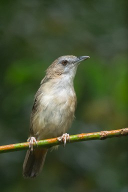 Abbott's Babbler at Old Upper Thomson Road. Photo credit: Francis Yap