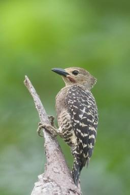 Buff-rumped Woodpecker at Pulau Ubin. Photo credit: Francis Yap