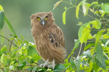 Buffy Fish Owl at Hampstead Wetlands Park. Photo credit: Francis Yap