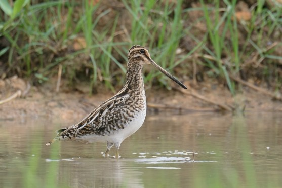 Common Snipe at Neo Tiew Harvest Lane. Photo credit: Francis Yap